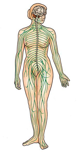 nervebaner i kroppen